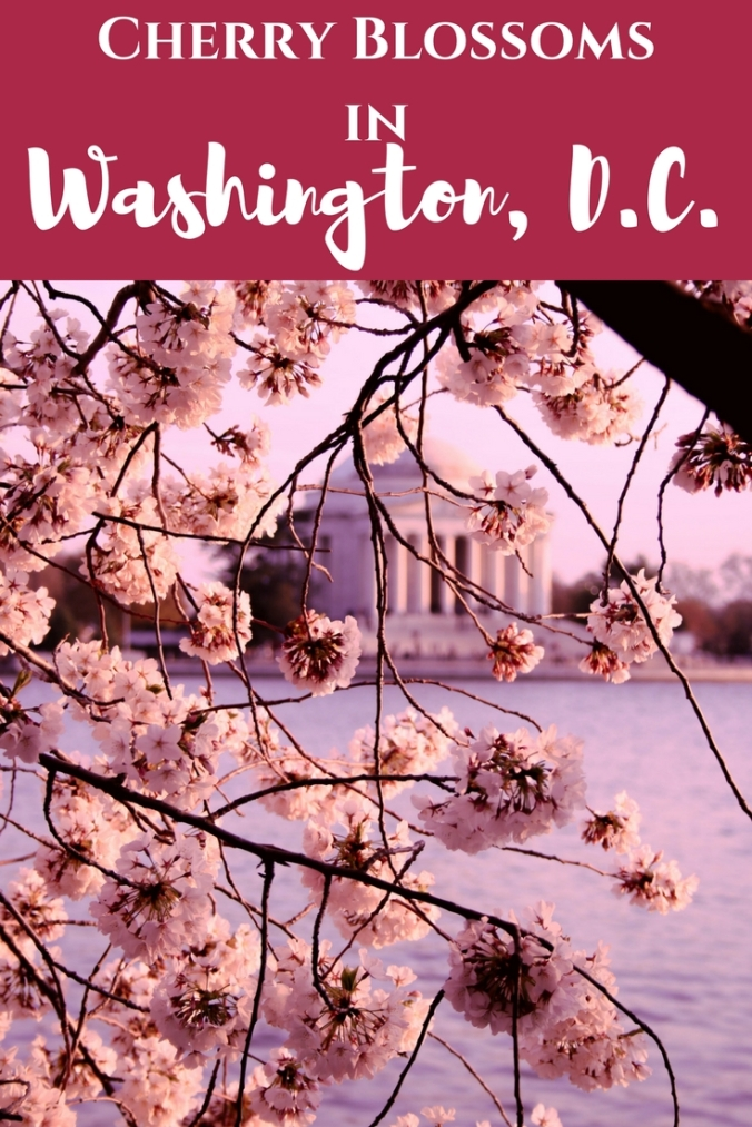 Cherry Blossoms (1)